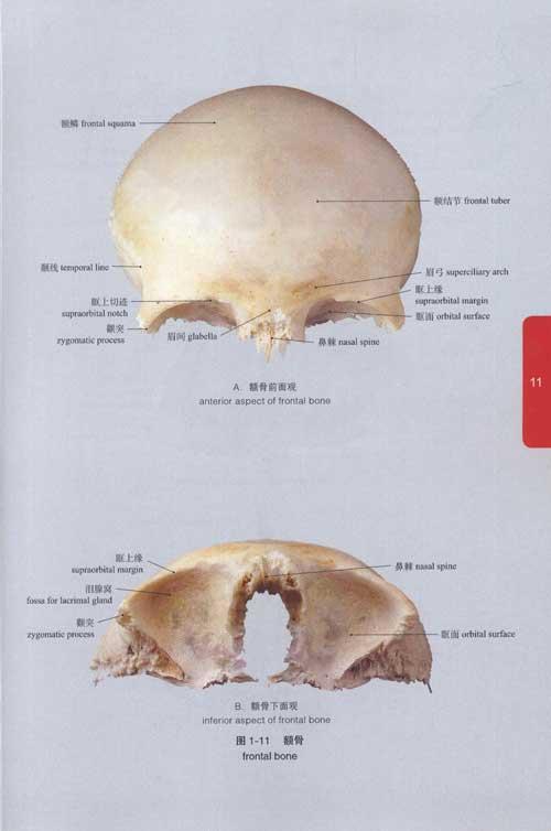 新生婴儿肋骨结构图
