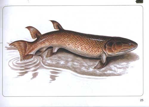 为什么从鱼类进化两栖动物后,动物的鳞片变成了没有鳞片的?