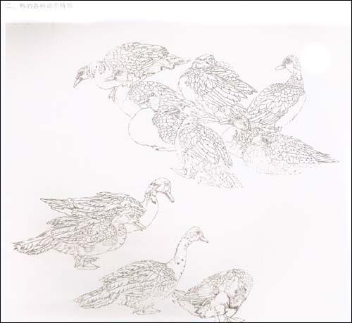 目录 一,鸭的白描特写 二,鸭的各种动态特写 三,鹅的各种动态